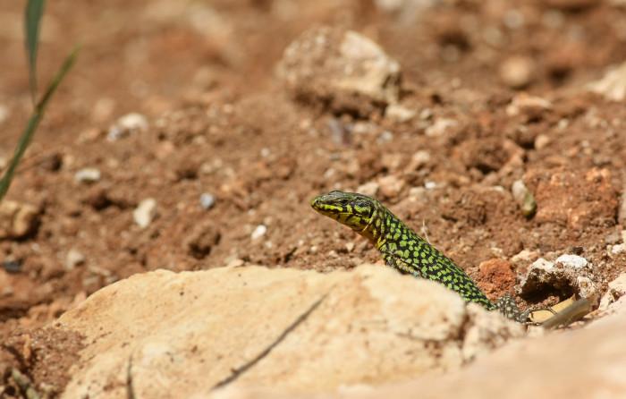 09 Maltese Wall Lizard