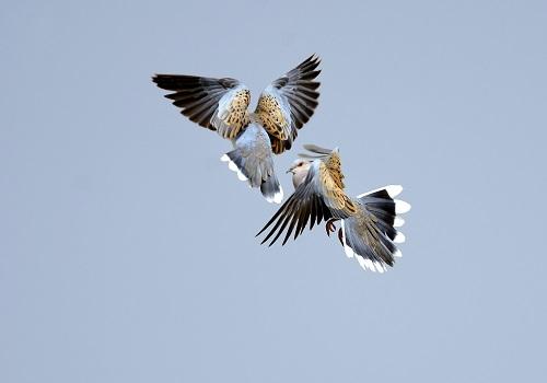 Turtle Doves (Streptopelia turtur) fighting in flight, Norfolk, UK, June