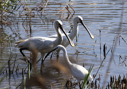 The Spoonbills at Simar Nature Reserve (Photo by Raymond Galea)
