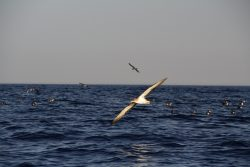 2-scopolis-shearwaters-at-ta-cenc-paulo-lago