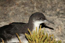 Arċipelagu garnija project yelkouan shearwater birdlife malta
