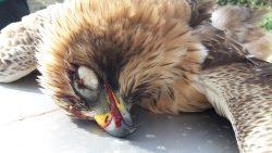 booted-eagle-tal-virtu-janina-laurent-1