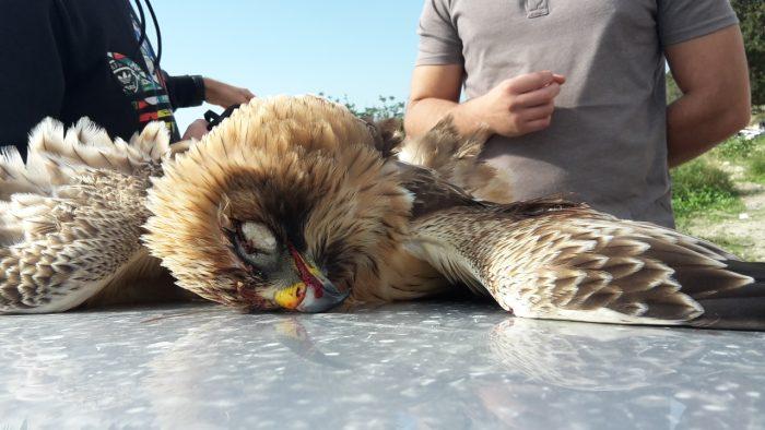 booted-eagle-tal-virtu-janina-laurent-3