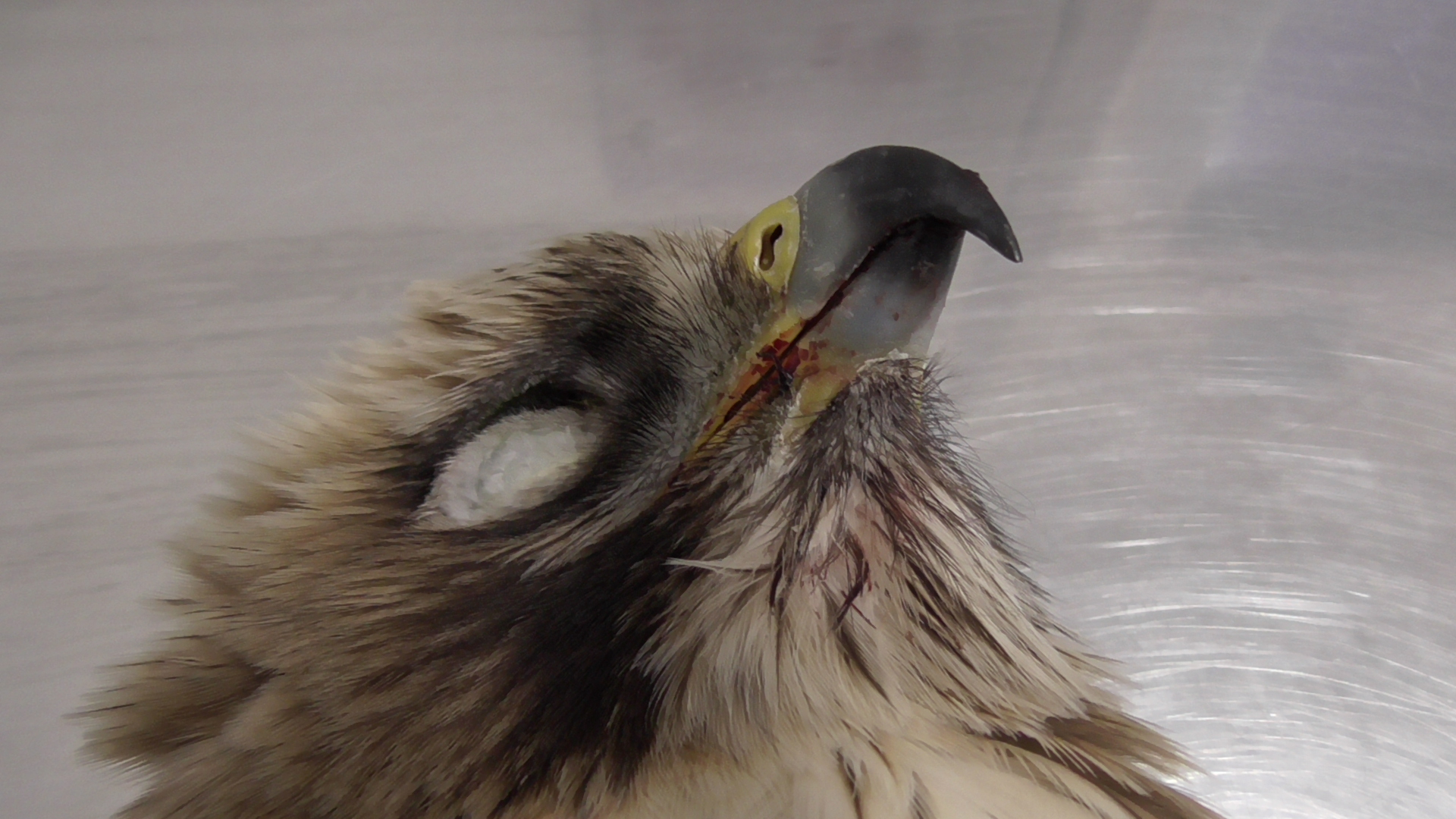 Another Booted Eagle shot down over Girgenti - BirdLife Malta