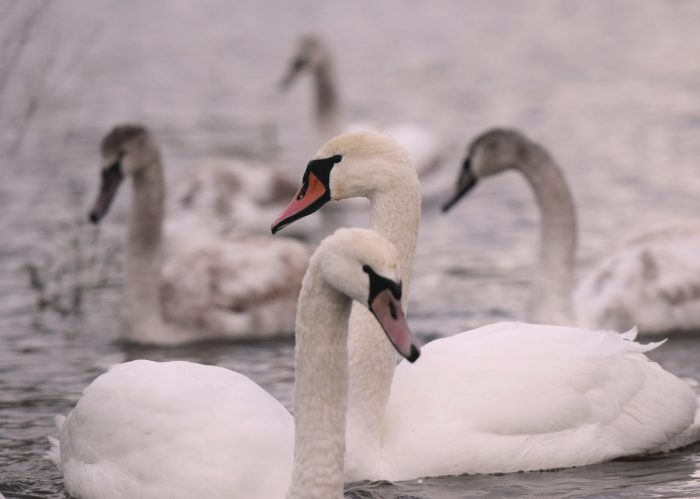 Mute Swans BirdLife Malta Partnerships