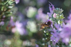 bee rosemary malta