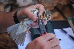 bird ringing comino birdlife malta