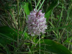 Maltese Pyramidal Orchid birdlife malta