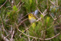 Wood Warbler birdlife malta