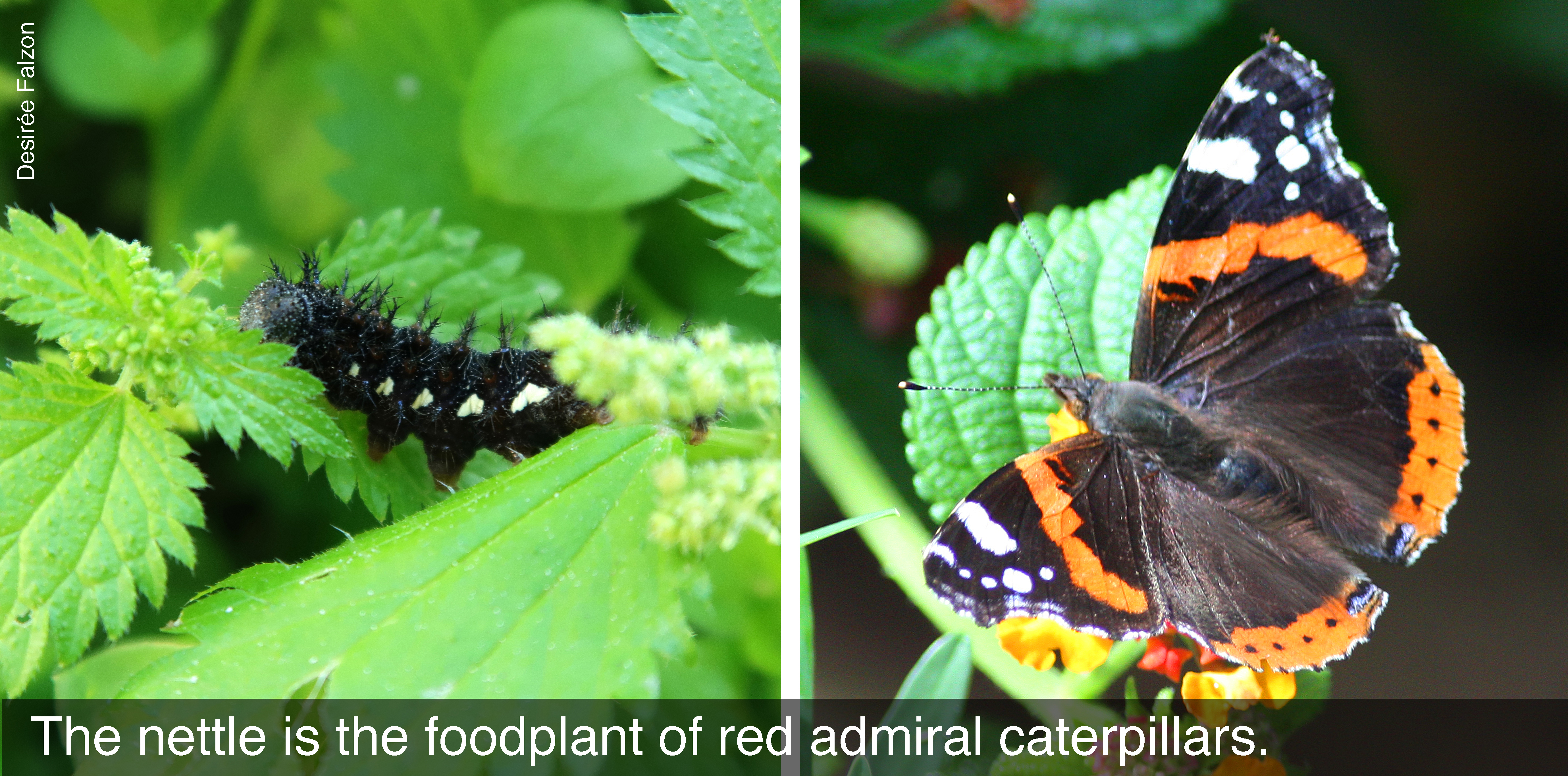 The nettle is the foodplant of red admiral caterpillars.