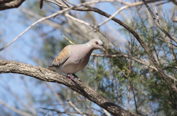 Turtle Dove (Gamiema)