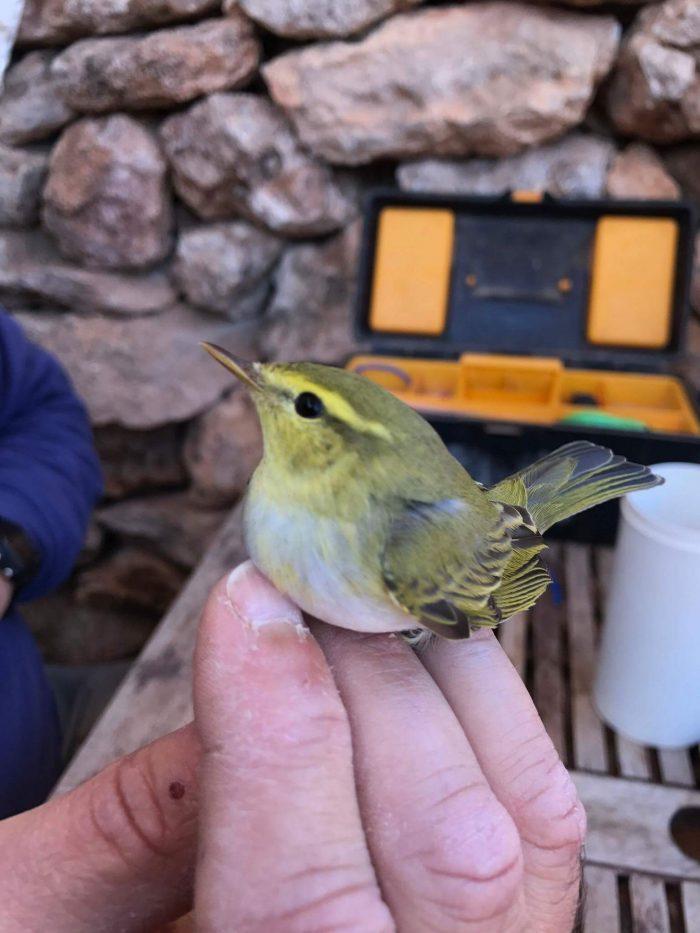 Bird ringing on Comino